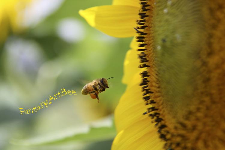 sunflower_f0281446_01342793.jpg