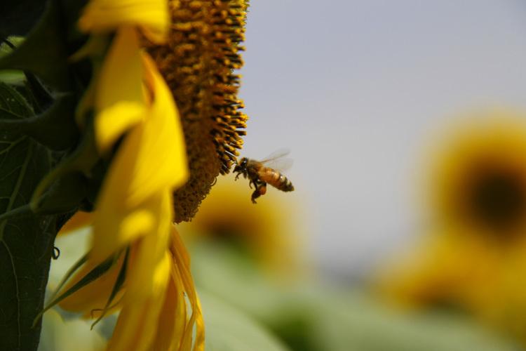 sunflower_f0281446_01342914.jpg