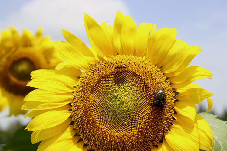 sunflower_f0281446_01343297.jpg