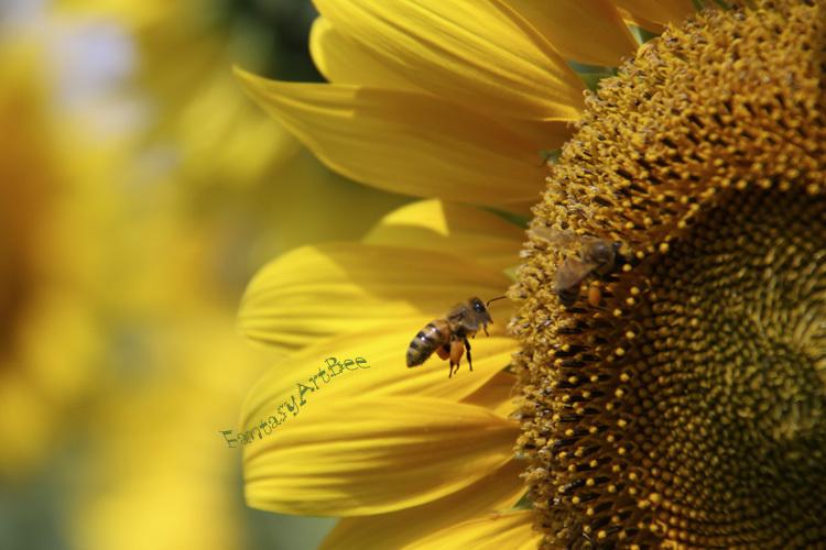 sunflower_f0281446_01343474.jpg
