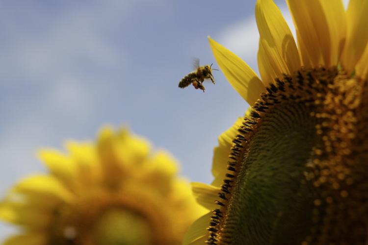 sunflower_f0281446_01343961.jpg