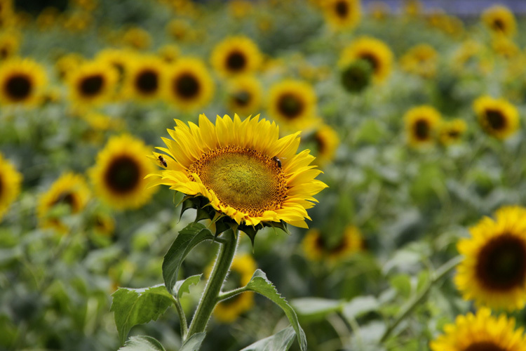 sunflower_f0281446_01344156.jpg
