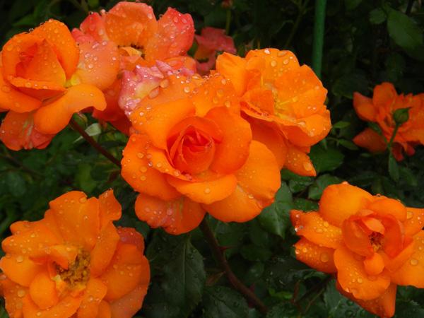 今日のクリナム♪ バラのフロリドール、ハブランサスなど♪_a0136293_17485472.jpg