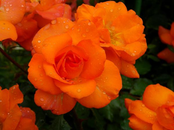 今日のクリナム♪ バラのフロリドール、ハブランサスなど♪_a0136293_18175537.jpg