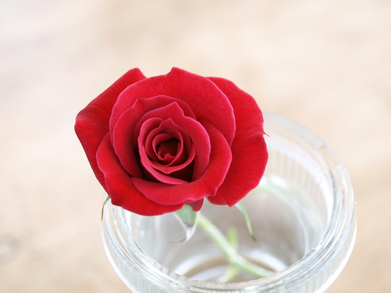 真っ赤なルージュのようなバラ・キャラミア。_c0334705_22191220.jpg