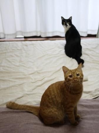 猫のお留守番 クルルちゃんタマラちゃん編。_a0143140_22152948.jpg