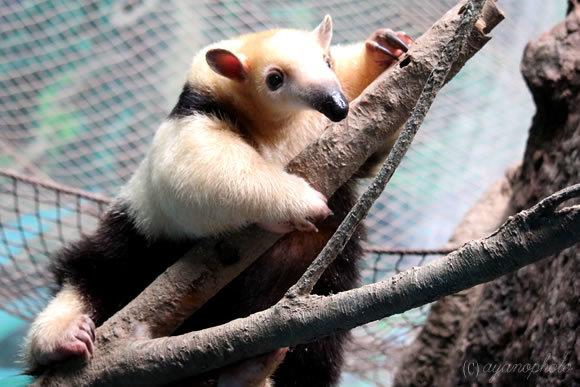 のいち動物公園のミナミコアリクイ