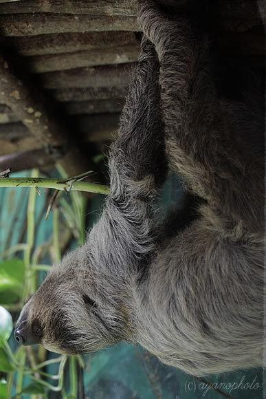 のいち動物公園のフタユビナマケモノ