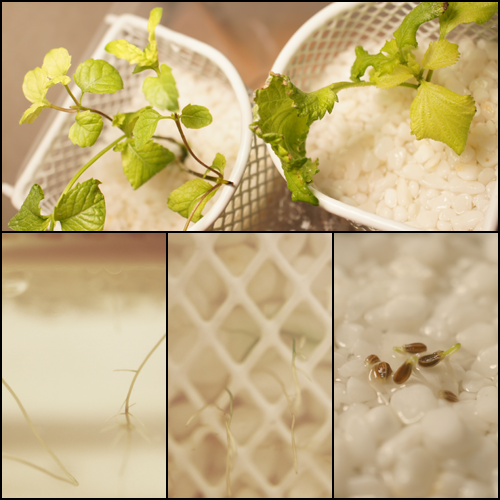新芽が白くなりました ミ>。<;彡_a0024690_11452031.png