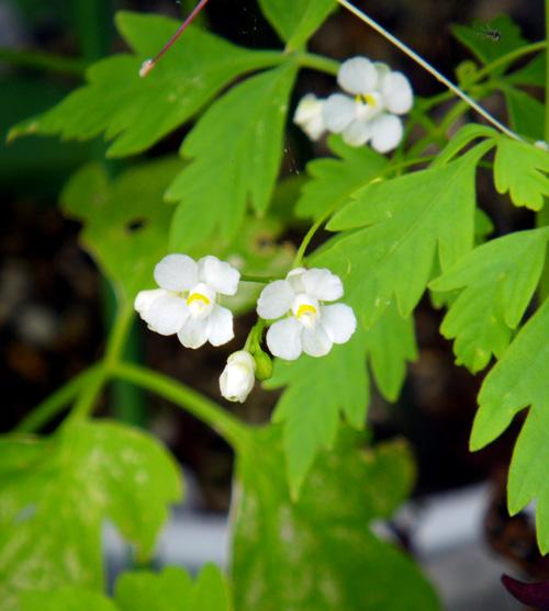 フウセンカズラの花、今日のクリナムなど♪_a0136293_19125858.jpg