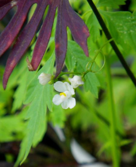 フウセンカズラの花、今日のクリナムなど♪_a0136293_19141674.jpg