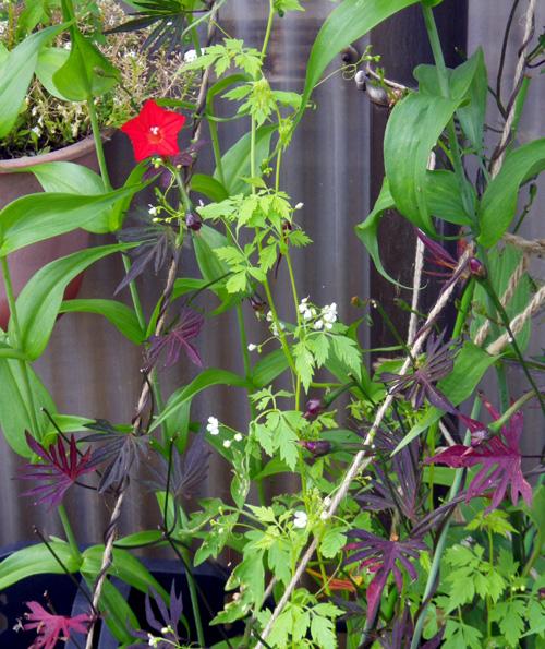 フウセンカズラの花、今日のクリナムなど♪_a0136293_19233855.jpg