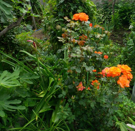 フウセンカズラの花、今日のクリナムなど♪_a0136293_19251238.jpg