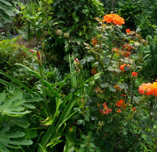 フウセンカズラの花、今日のクリナムなど♪_a0136293_19313195.jpg