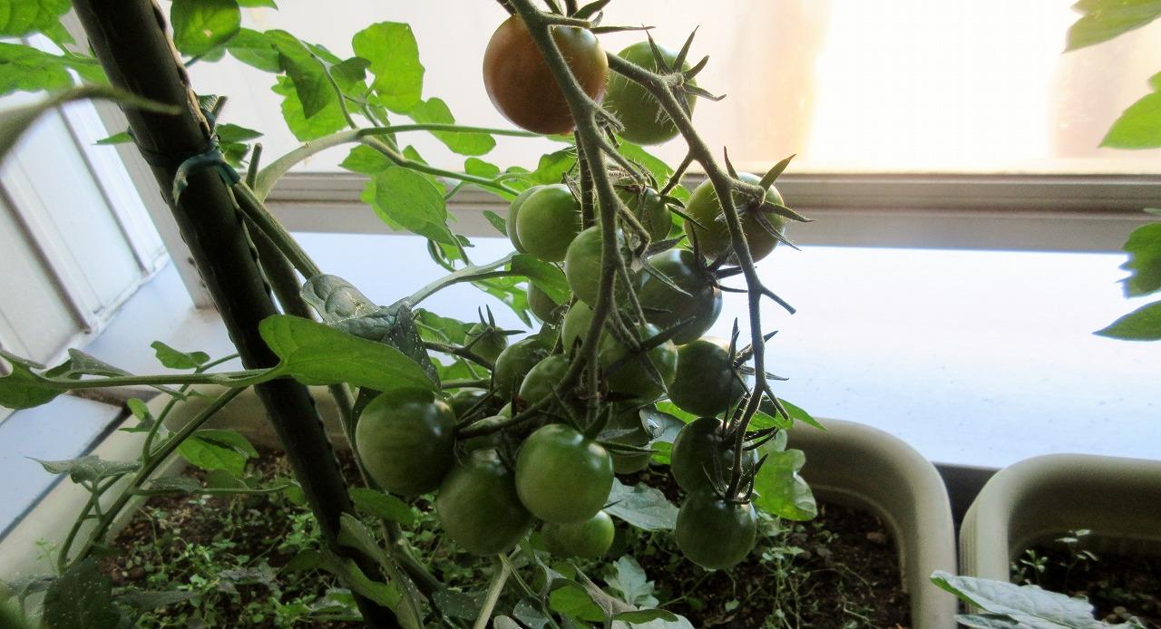 ミニトマト収穫_b0163804_13362999.jpg