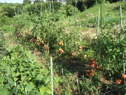 トマトは大豊作です。_b0137932_1448194.jpg