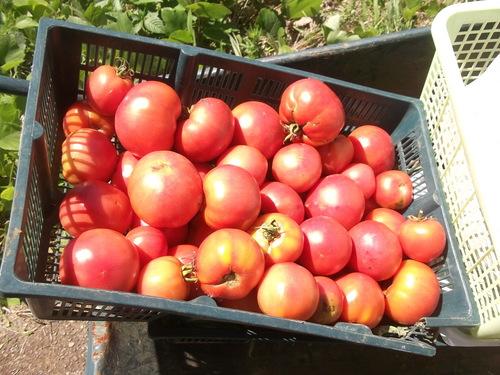トマトは大豊作です。_b0137932_14482187.jpg