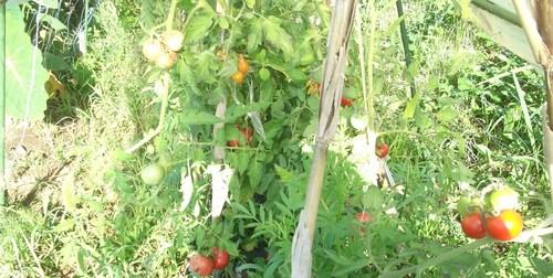 トマトは大豊作です。_b0137932_14483639.jpg