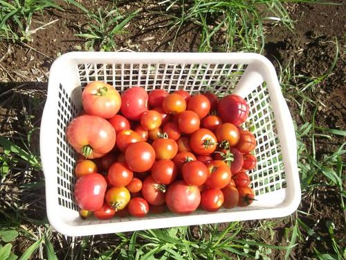 トマトは大豊作です。_b0137932_14485065.jpg