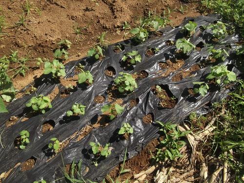 トマトは大豊作です。_b0137932_14504689.jpg