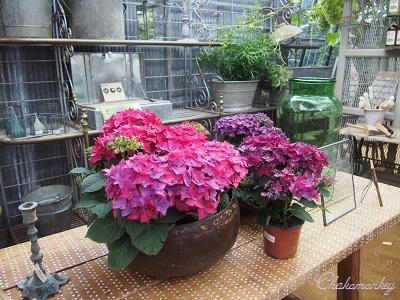 Petersham Nurseriesの紫陽花とダリア_f0238789_19251123.jpg