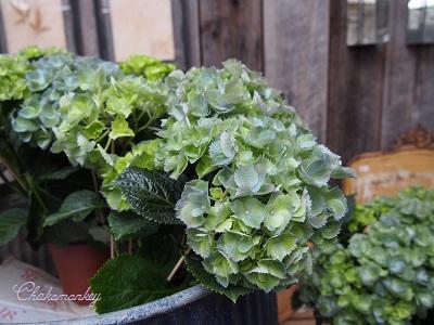 Petersham Nurseriesの紫陽花とダリア_f0238789_19255785.jpg