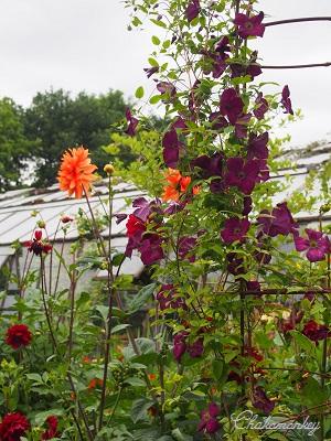 Petersham Nurseriesの紫陽花とダリア_f0238789_19442194.jpg