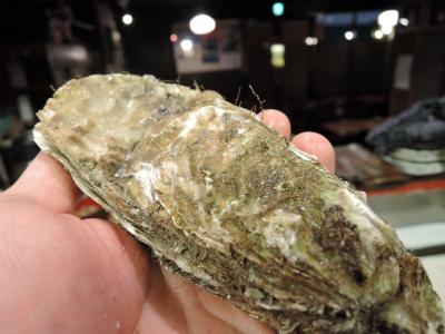 仙鳳趾の牡蠣 解禁_f0157910_15375125.jpg