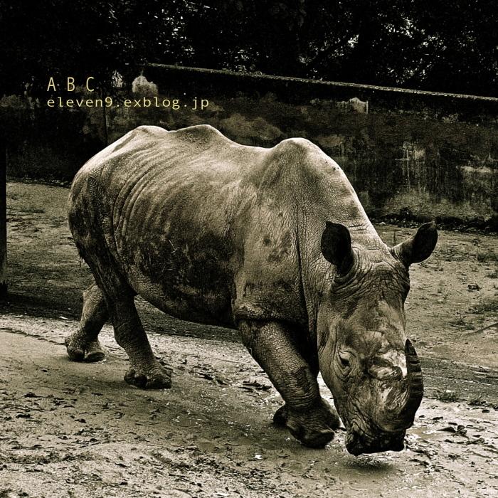 Southern White Rhinoceros_f0315034_08505855.jpg