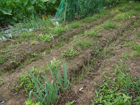 形のいいカボチャ2個収穫&ネギの雑草取りと追肥7・20_c0014967_21311794.jpg