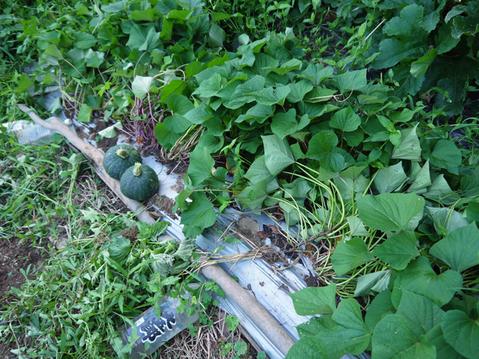 形のいいカボチャ2個収穫&ネギの雑草取りと追肥7・20_c0014967_21334116.jpg