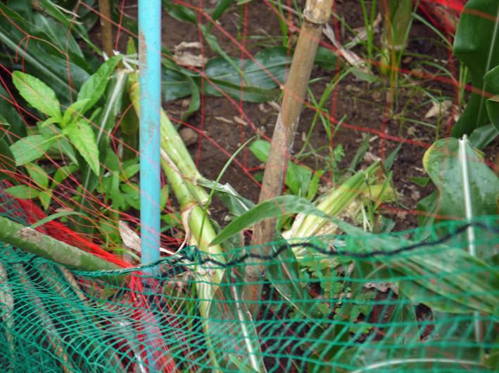 形のいいカボチャ2個収穫&ネギの雑草取りと追肥7・20_c0014967_21355026.jpg