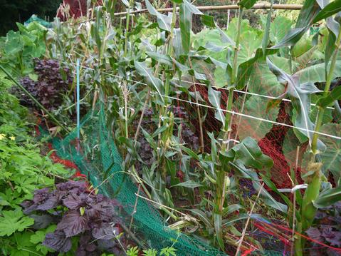 形のいいカボチャ2個収穫&ネギの雑草取りと追肥7・20_c0014967_2136648.jpg