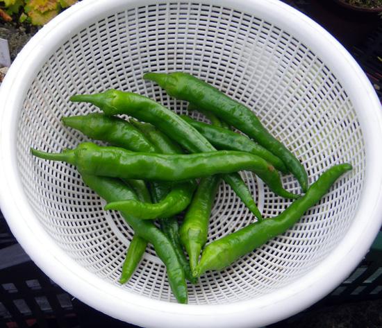 青ナンバ(青トウガラシ)の初収穫と、ついでにニラも~♪_a0136293_16183492.jpg