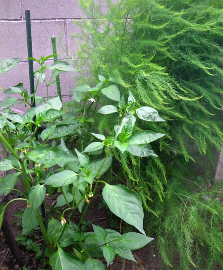 青ナンバ(青トウガラシ)の初収穫と、ついでにニラも~♪_a0136293_16212539.jpg