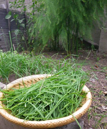 青ナンバ(青トウガラシ)の初収穫と、ついでにニラも~♪_a0136293_16311313.jpg