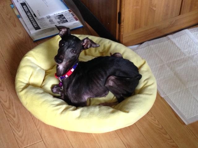 イタグレ&柴犬の移動先募集!_f0242002_1055224.jpg