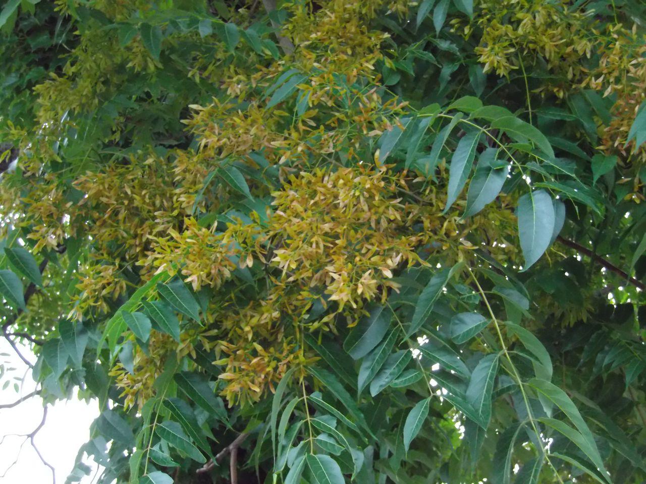 久しぶりのイチョウ並木と色づくシンジュの種_c0025115_20191167.jpg