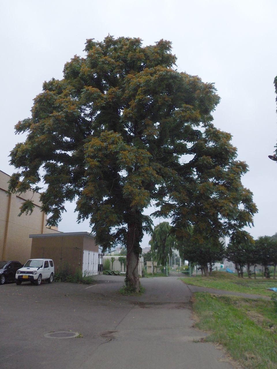 久しぶりのイチョウ並木と色づくシンジュの種_c0025115_2019296.jpg
