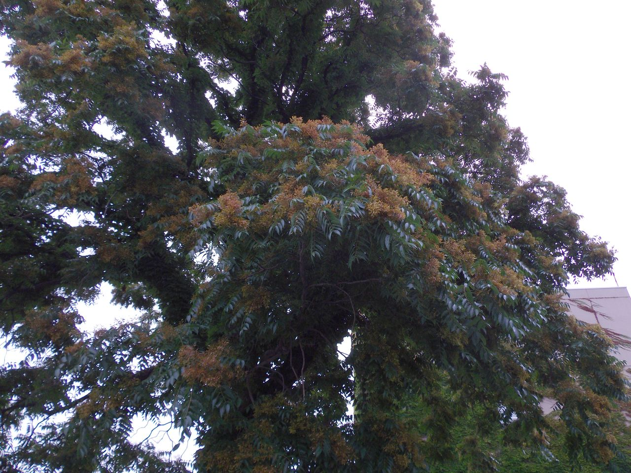 久しぶりのイチョウ並木と色づくシンジュの種_c0025115_2019938.jpg