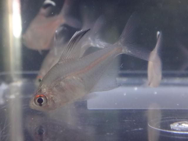 150723 熱帯魚・金魚・淡水魚・水草・観葉植物_f0189122_1325452.jpg