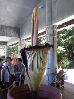 インドネシア原産の世界最大級の花ショクダイオオコンニャク開花@神代植物公園_a0054926_14554641.jpg