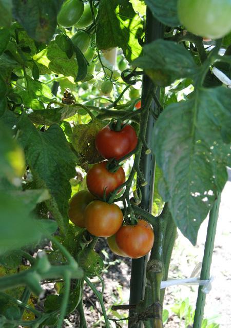 トマト天国 と 焼きラタトゥイユ_d0180447_11265161.jpg