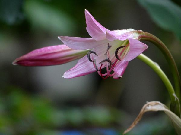 小雨の中、クリナムの花がしっとりと咲いて・・・♪_a0136293_1746192.jpg