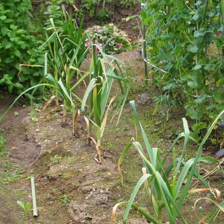 ニンニク、そろそろ収穫です_a0292194_17525481.jpg