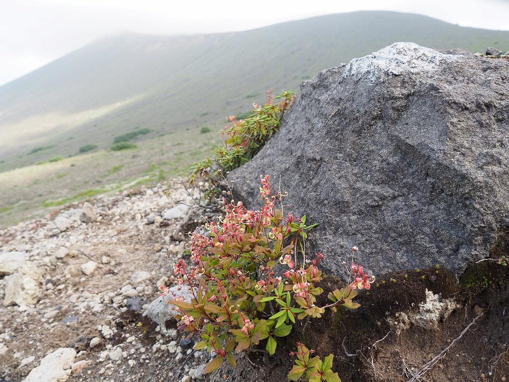 タルマエソウが最盛期の樽前山、7月20日-その2 -_f0138096_1751782.jpg
