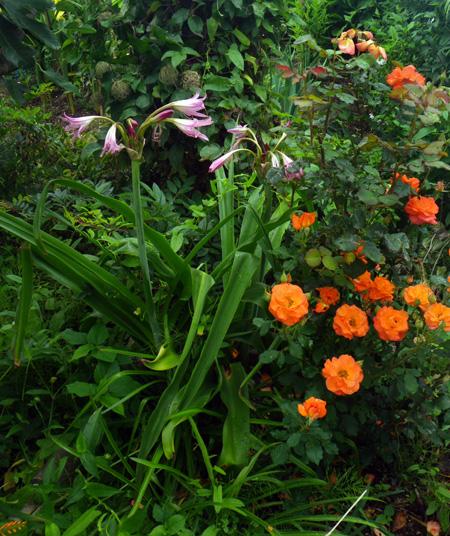 小雨の中、クリナムの花がしっとりと咲いて・・・♪_a0136293_17253214.jpg