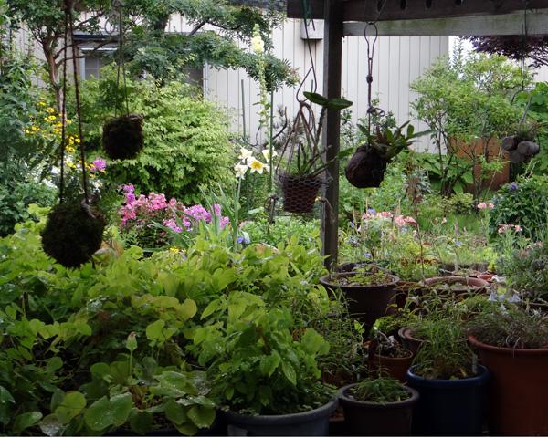 山草棚に下げて夏越し、エアープランツ、苔玉シノブ、小さなデンドロなど♪ _a0136293_1727185.jpg