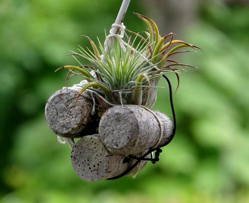 山草棚に下げて夏越し、エアープランツ、苔玉シノブ、小さなデンドロなど♪ _a0136293_17344589.jpg