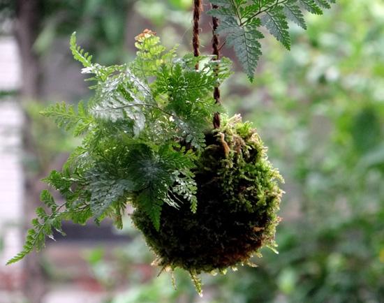 山草棚に下げて夏越し、エアープランツ、苔玉シノブ、小さなデンドロなど♪ _a0136293_1750944.jpg